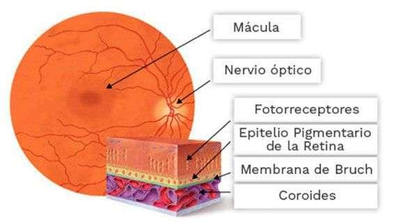 esquema de la retina